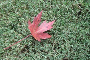The first red maple leaf of fall.
